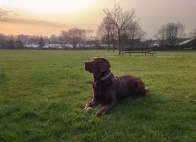 A HDR iPhone photo of a warm sunrise scene in the park. A Chocolate Labrador is lying on the grass in the foreground alert and looking to the left. The background is a warm sunrise with some clouds.