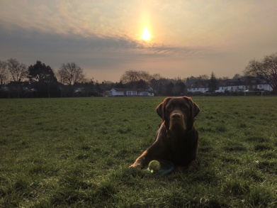 A HDR iPhone photo of a warm sunrise scene in the park. A Chocolate Labrador is lying on the grass in the foreground looking into the camera. Next to him is his frisbee and tennis ball.